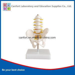PVC Anatomical Model Small Size Pelvic Girdle Five Lumbar Spine Model